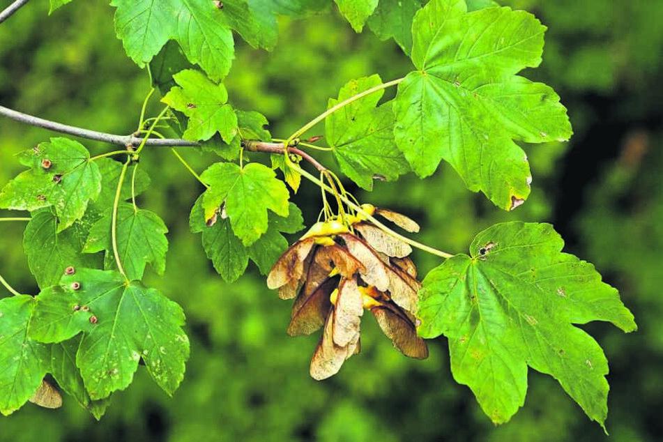 Der Verzehr von Bergahorn-Früchten wurde den Tieren zum Verhängnis.