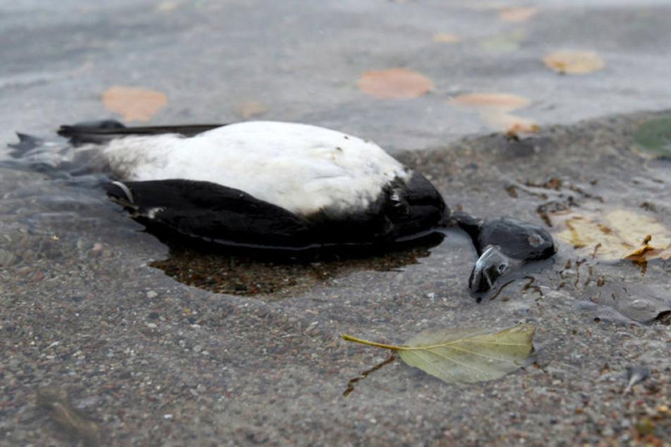 Bei Wildvögeln am Bodensee ist die gefährliche Form der Vogelgrippe vom Typ H5N8 festgestellt worden.