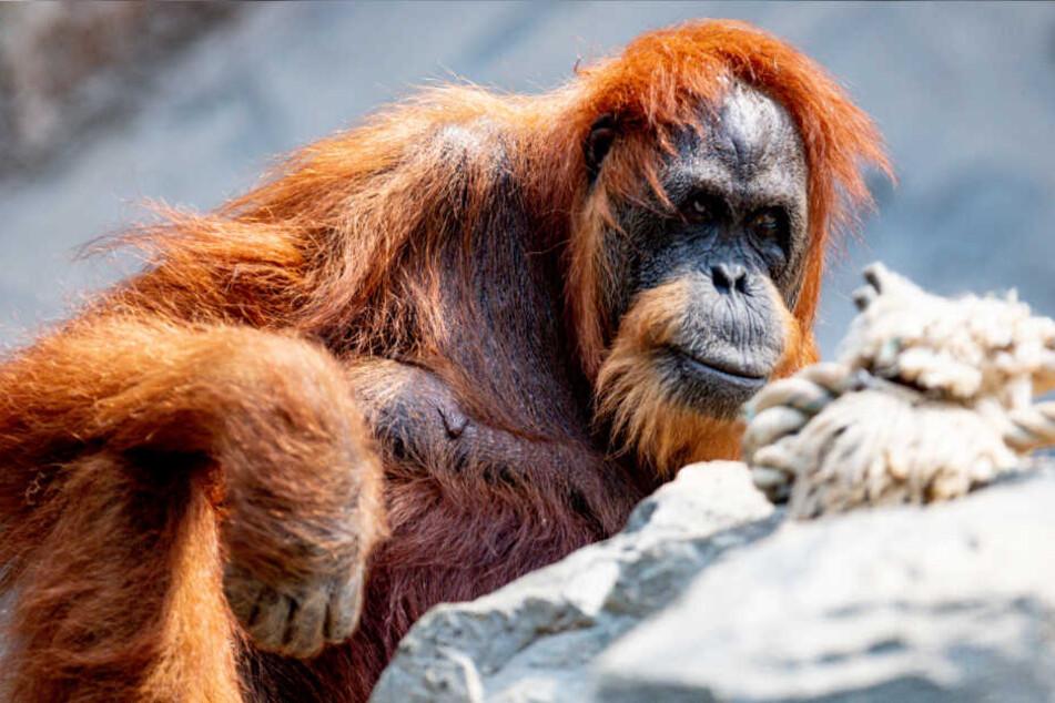 Orang-Utan Bella sitzt im Gehege im Tierpark Hagenbeck, in dem sie seit Jahrzehnten lebt.