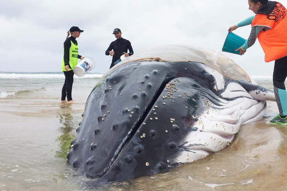Der Buckelwal ist vor Sydney gestrandet und muss nun auf eine Flut hoffen.