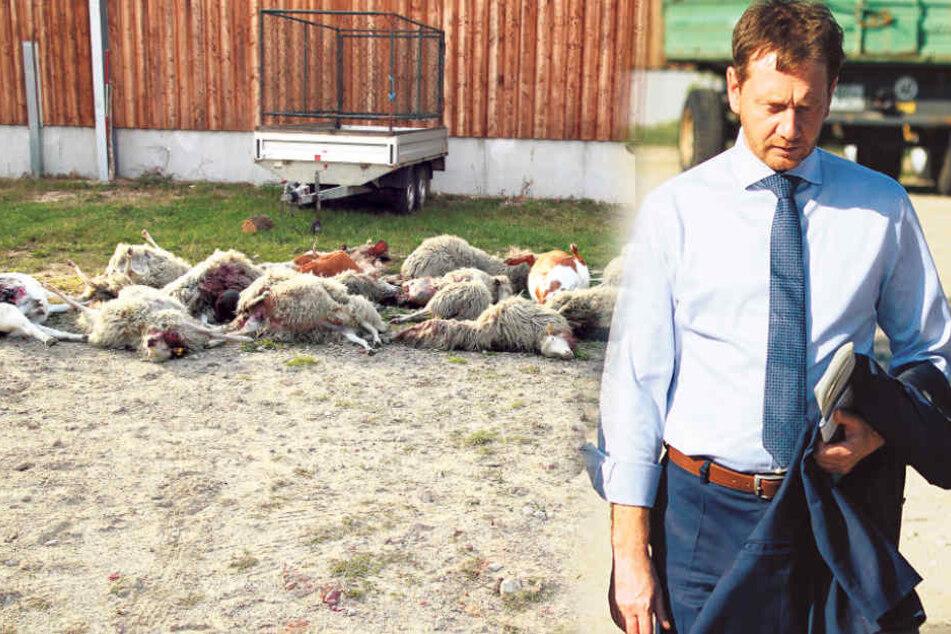 Orten statt schießen! Kretschmer will Wölfe mit Sendern versehen lassen