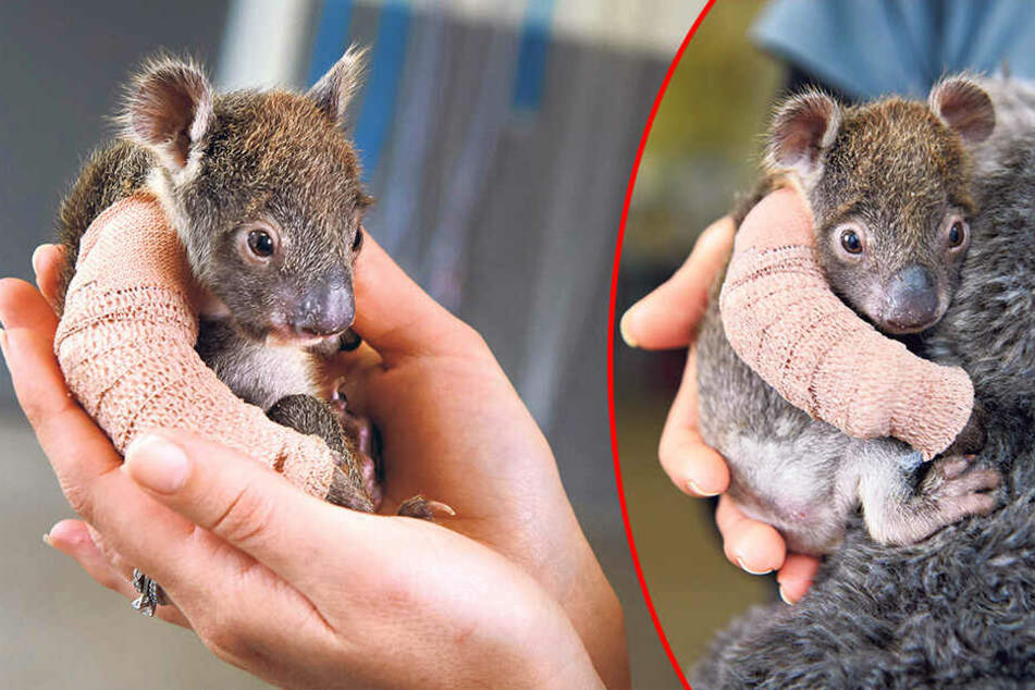 Nach einem Unfall erhielt diese kleine rund 500 Gramm schwere Koala-Dame einen Gipsverband.