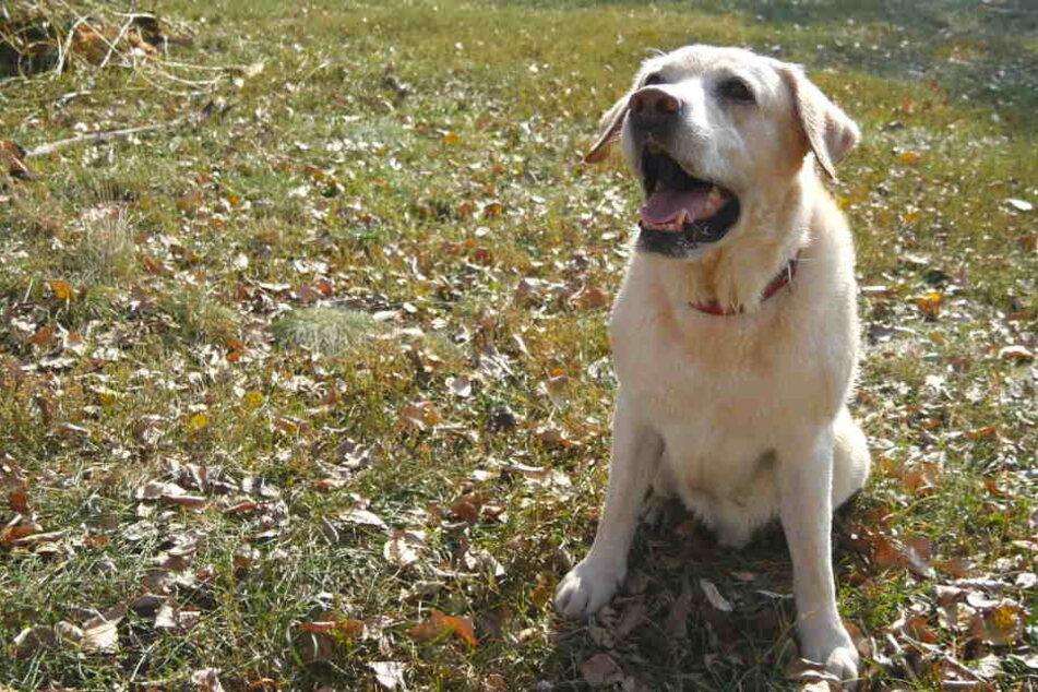 Als plötzlich der Besitzer des Labradors auftauchte, entschuldigte er sich nur und ging dann weiter (Symbolbild).