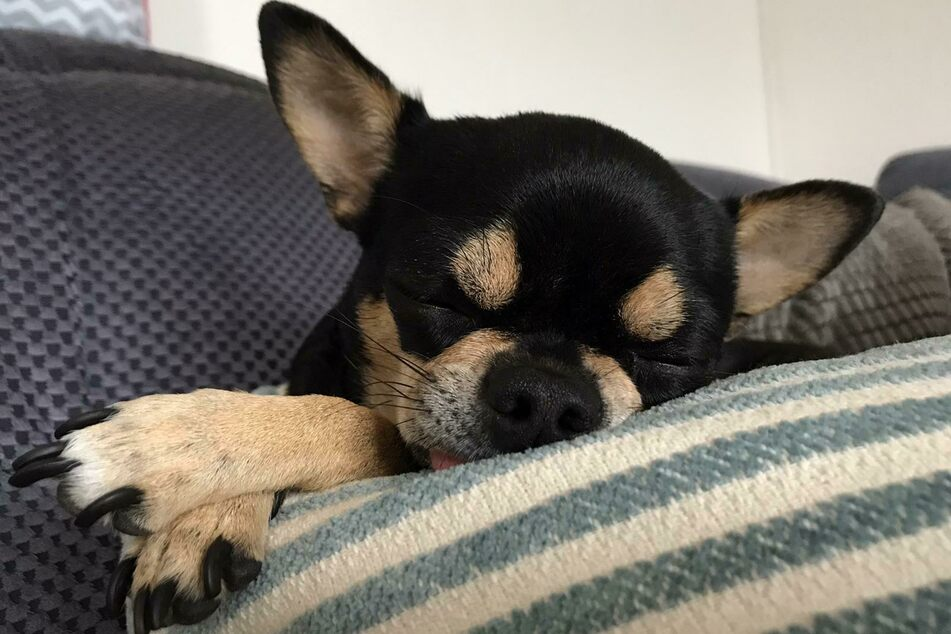 Chihuahuas don't usually need that much sleep.