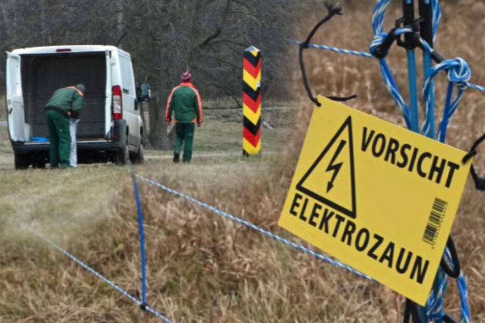 Totes Wildschwein nahe Sachsen gefunden: Behörden errichten Zaun