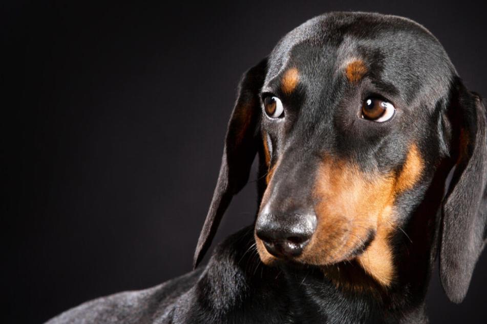 Ein Hund hat aufgrund eines Missverständnisses sein Leben verloren. (Symbolbild)