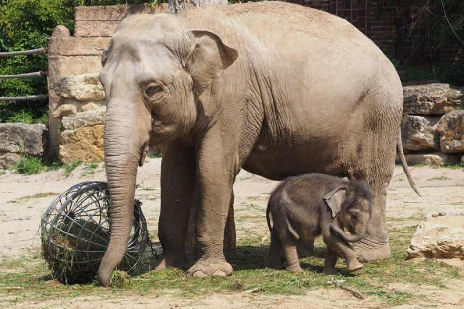 "Bei ""Elefant, Tiger & Co."" dreht sich mal wieder vieles um Elefantenbaby Ben Long."