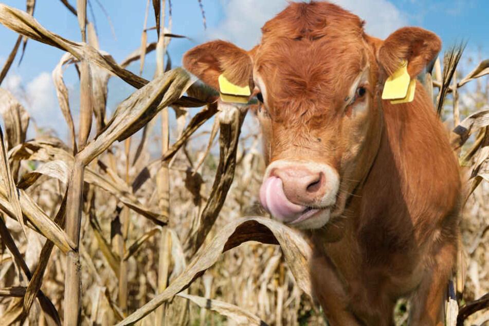 Weil die Felder vertrocknet sind, müssen viele Rinder notgeschlachtet werden.