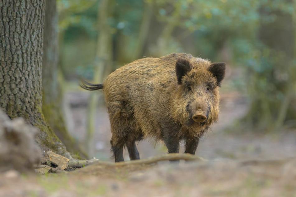 Weil es zu aggressiv war, wurde das Wildschwein getötet. (Symbolbild)