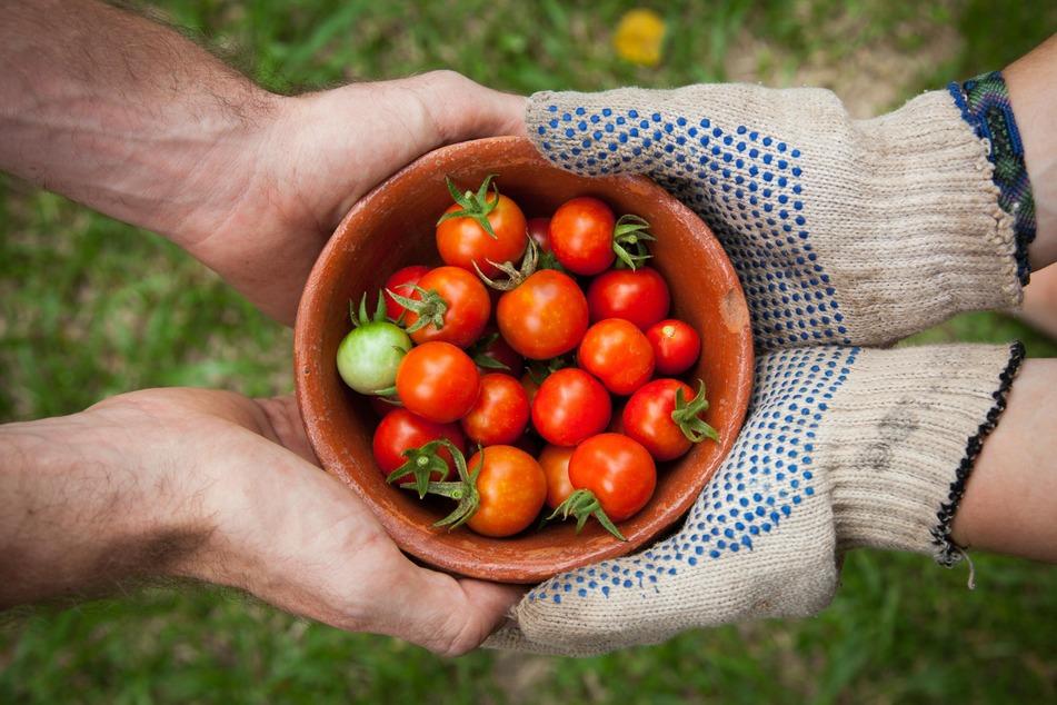 Frische Tomaten sind unheimlich lecker, aber auch pflegebedürftiger.