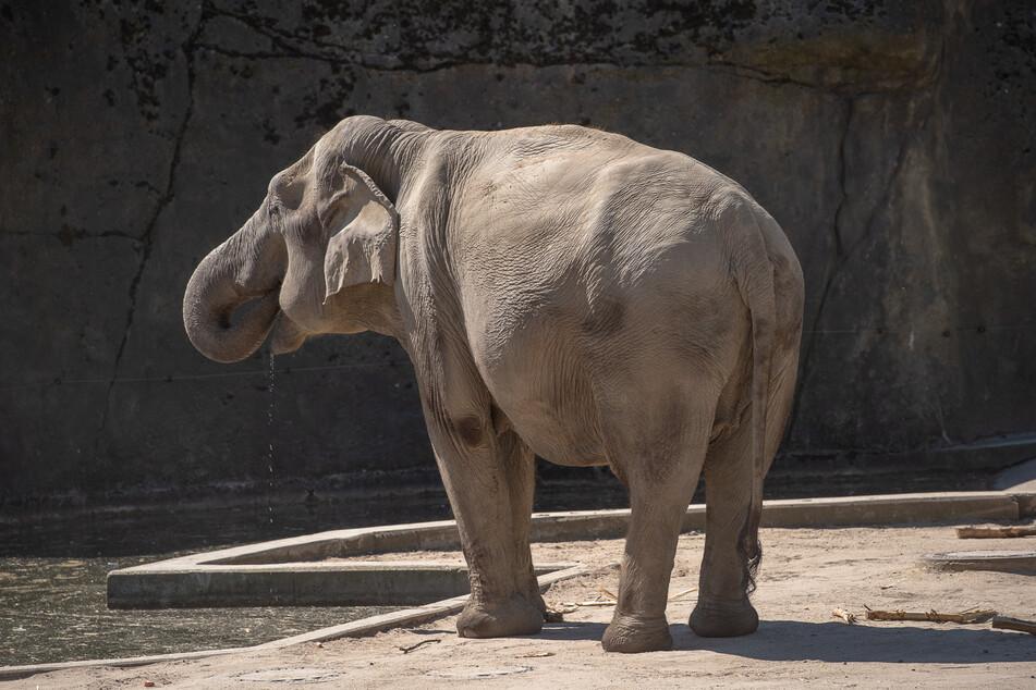 Köln: Kölner Zoo freut sich auf Nachwuchs bei den Elefanten