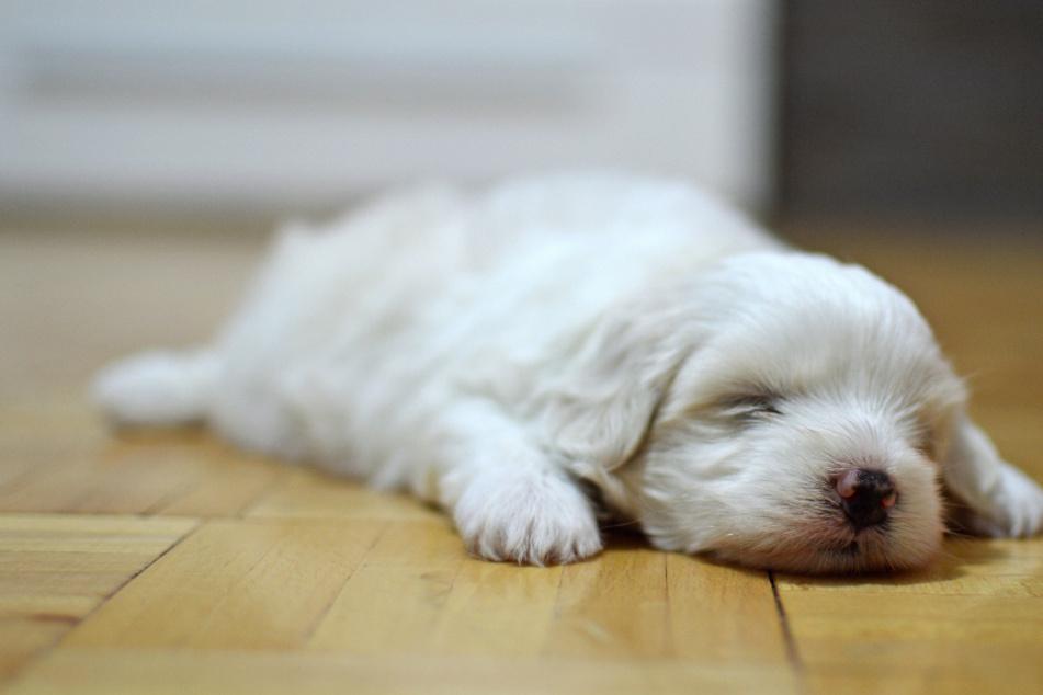 Hundewelpen sterben in neuem Zuhause: Das hat der Verkäufer ihnen grausames angetan