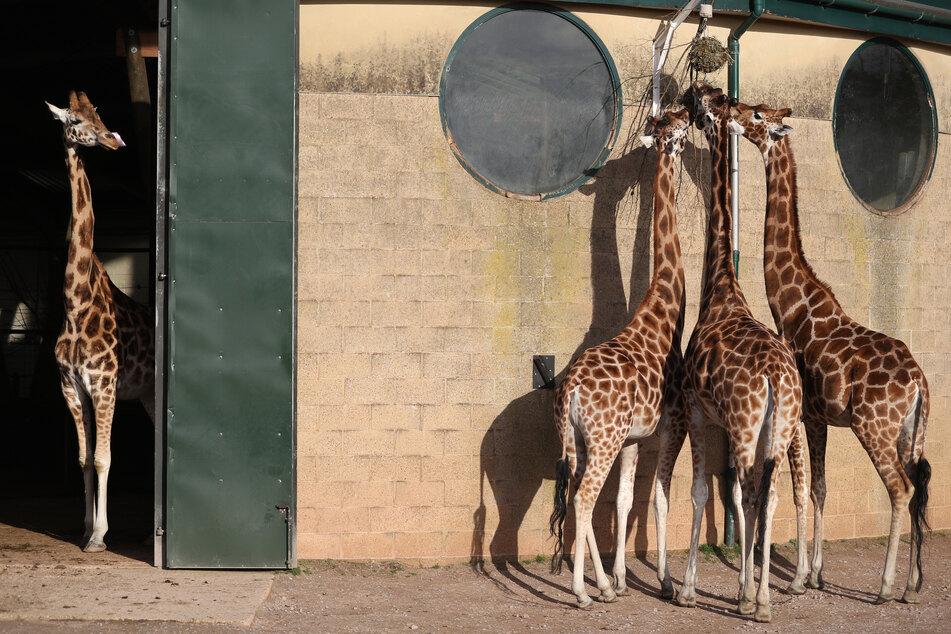 Rothschild-Giraffen werden in einem Zoo, der momentan coronabedingt geschlossen hat, gefüttert.