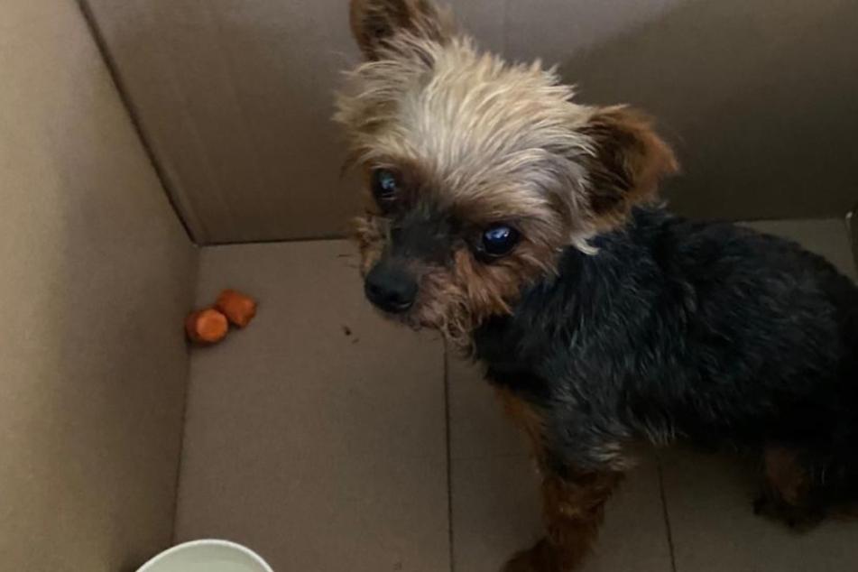 Kleiner Hund hilflos auf Straße ausgesetzt: So rettete die Polizei den Yorkshire Terrier