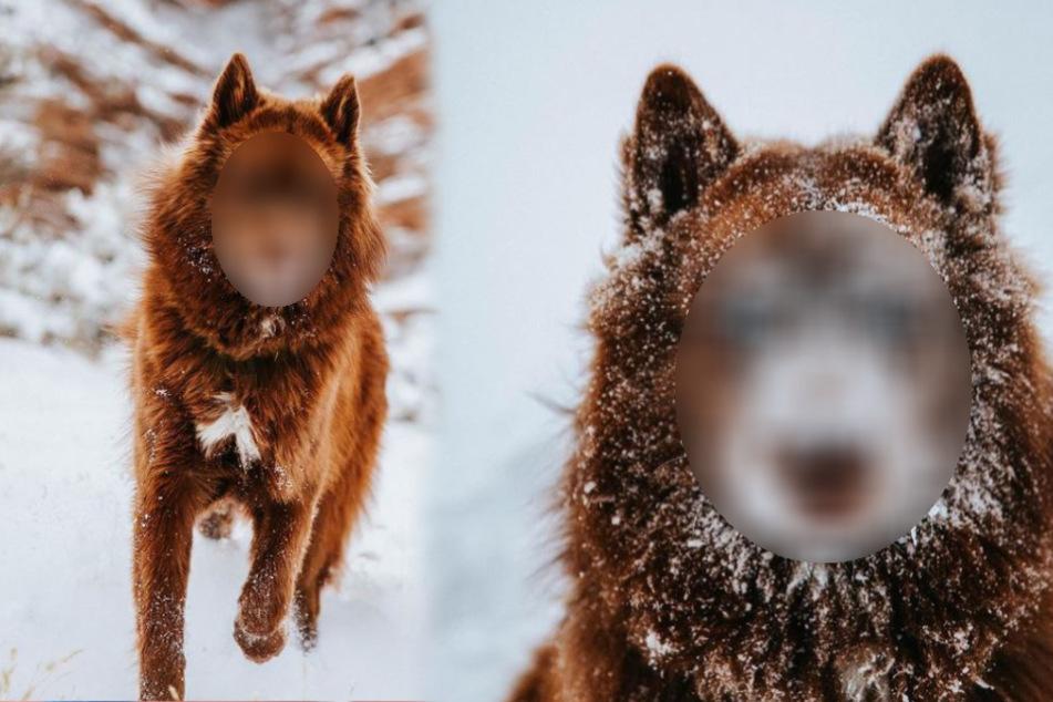 Wolf oder Hund? Dieses Tier zieht alle Blicke auf sich!