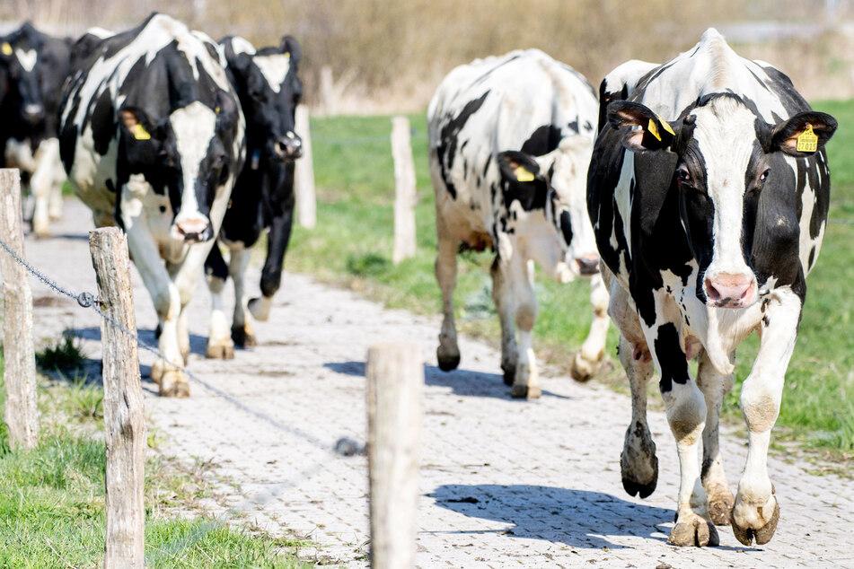 Mehrere Kühe haben ihre Weide verlassen (Symbolbild).