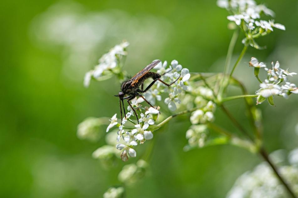 Blühende Kräuter wie die Petersilie sind tatsächlich giftig - Insekten freuen sich allerdings über das Blütenmeer, also ruhig einige Zeit stehen lassen.