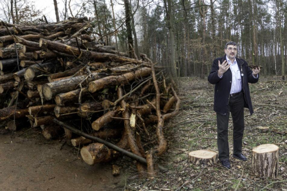 Dresden: Doppelt so viele Bäume weg! Das Kiefern-Massaker vom Blasewitzer Waldpark