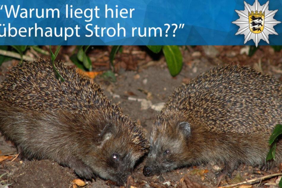 Das Liebesspiel zweier Igel in Radolfzell am Bodensee provozierte einen Polizeieinsatz.