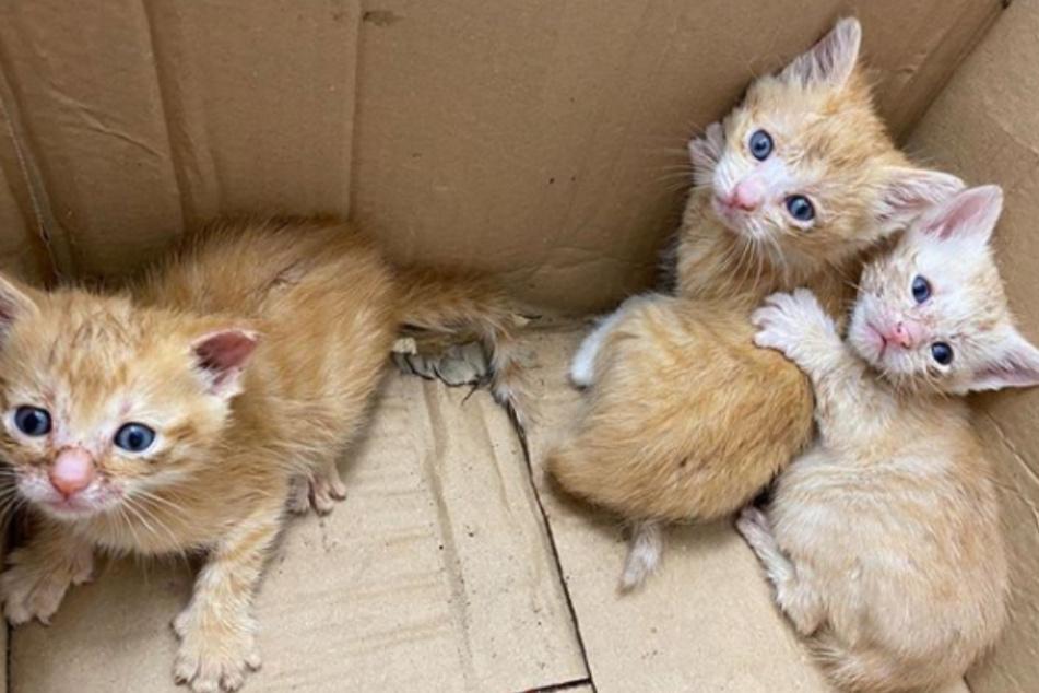 Die drei kleinen Kätzchen wurden in einem Pappkarton ausgesetzt. Als ein Spaziergänger sie fand, waren sie schon total ausgehungert.