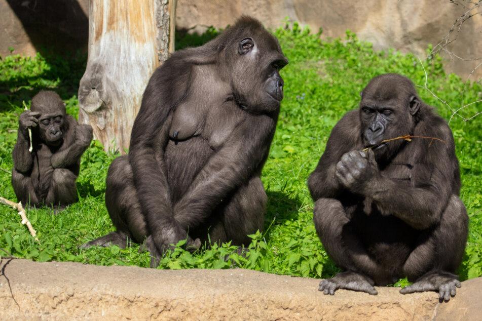 Diese Gorillas galten schon als ausgestorben, nun wurden sie hier entdeckt