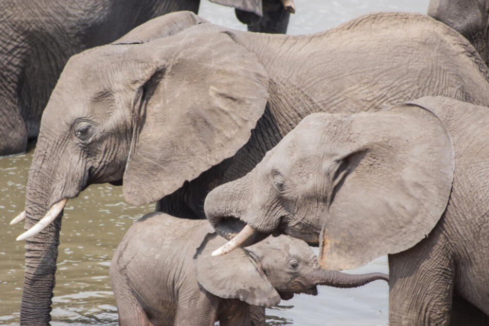 Steckt ein noch unbekanntes Elefantenvirus hinter den rätselhaften Todesfällen?