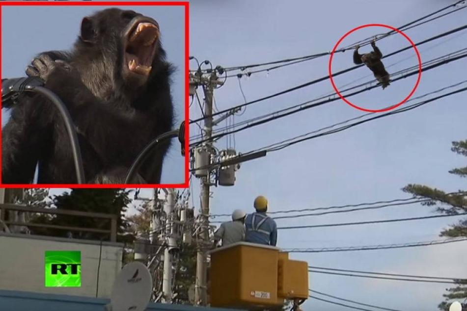 Schimpanse bricht aus Zoo aus und flüchtet auf Hochspannungsleitung