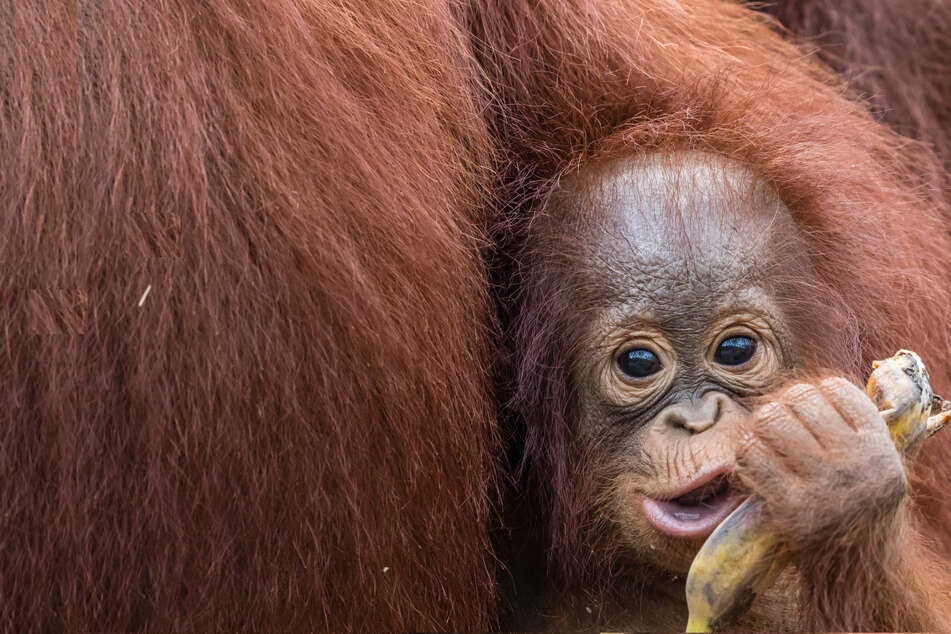 Three baby orangutans saved, but animal rights groups say the rescue is bittersweet