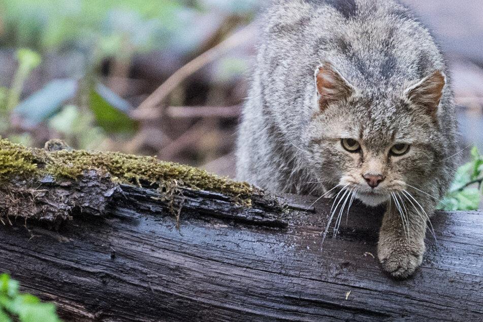 """""""Trüffelbäume"""": So soll die Wildkatze wieder heimisch werden"""