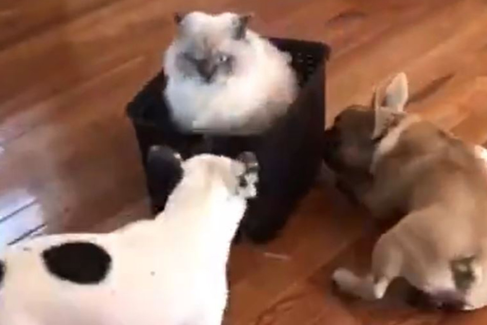 Viral video shows how cat keeps her two dogs on a tight leash