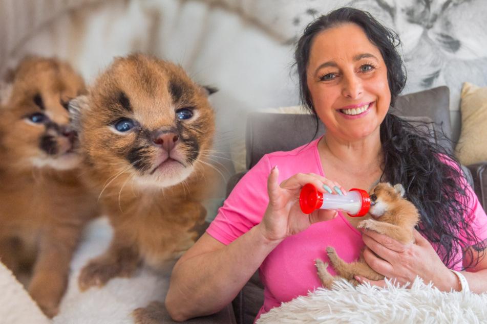 Friseurin zieht Karakal-Babys mit der Flasche auf: Zwei Wildkatzen erobern mein Wohnzimmer!