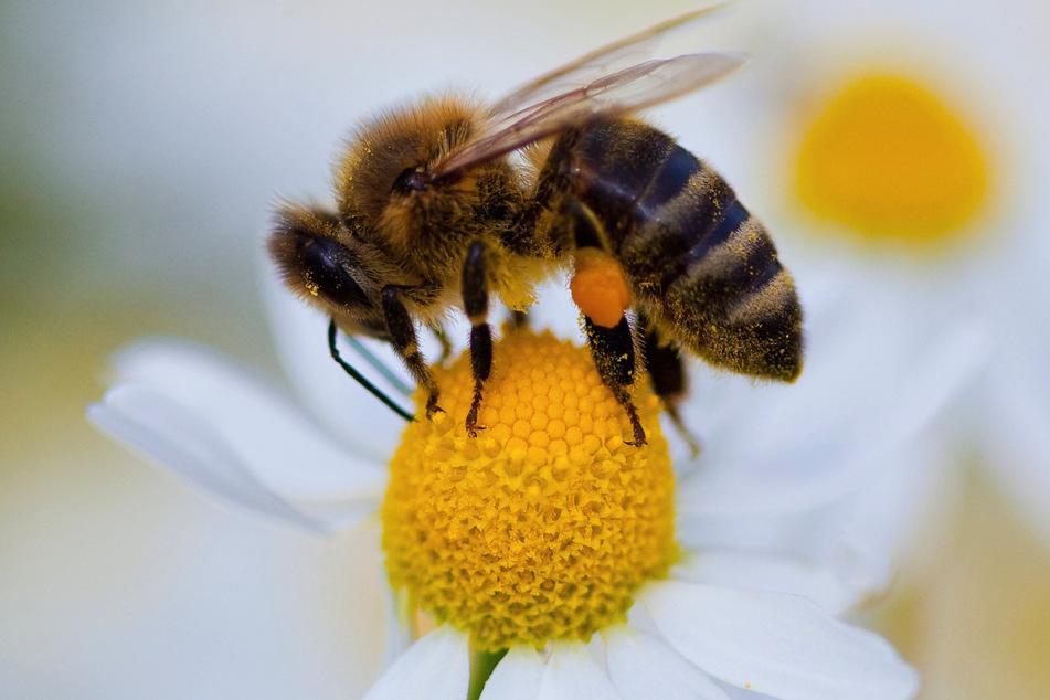 Eine Biene auf einem Gänseblümchen: Im Kampf gegen Corona-Folgeschäden könnte sie äußerst nützlich sein.