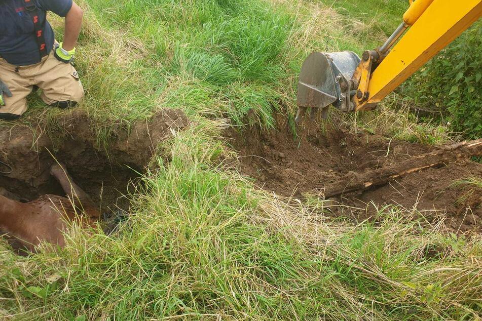 Ein ausgeliehener Bagger vergrößerte das Loch, sodass das Pferd mithilfe der Anwesenden herausgezogen werden konnte.