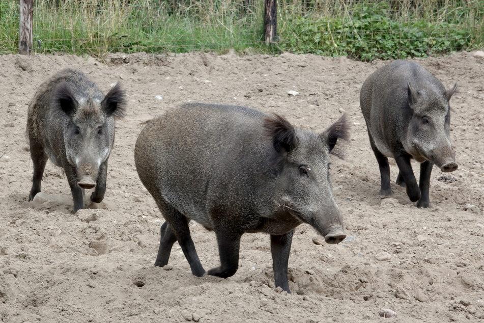 Auch Wildschweine sind vor der Afrikanischen Schweinepest nicht sicher.