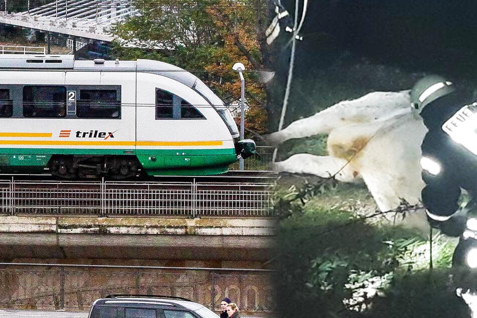 Zug fährt in Kuhherde: Strecke für mehrere Stunden gesperrt!