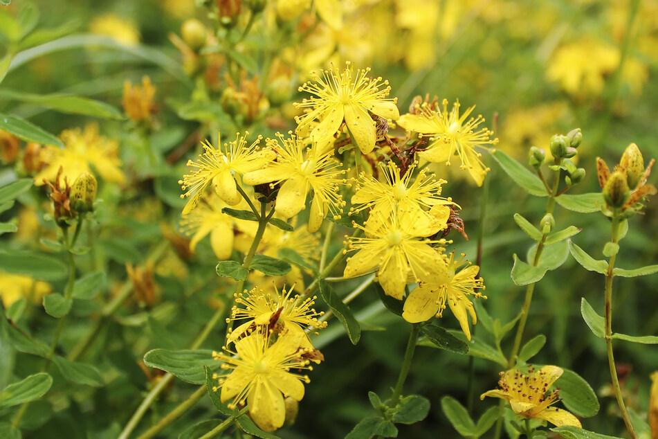 Johanniskraut gilt als pflanzliche Alternative zu synthetischen Antidepressiva. (Symbolbild)