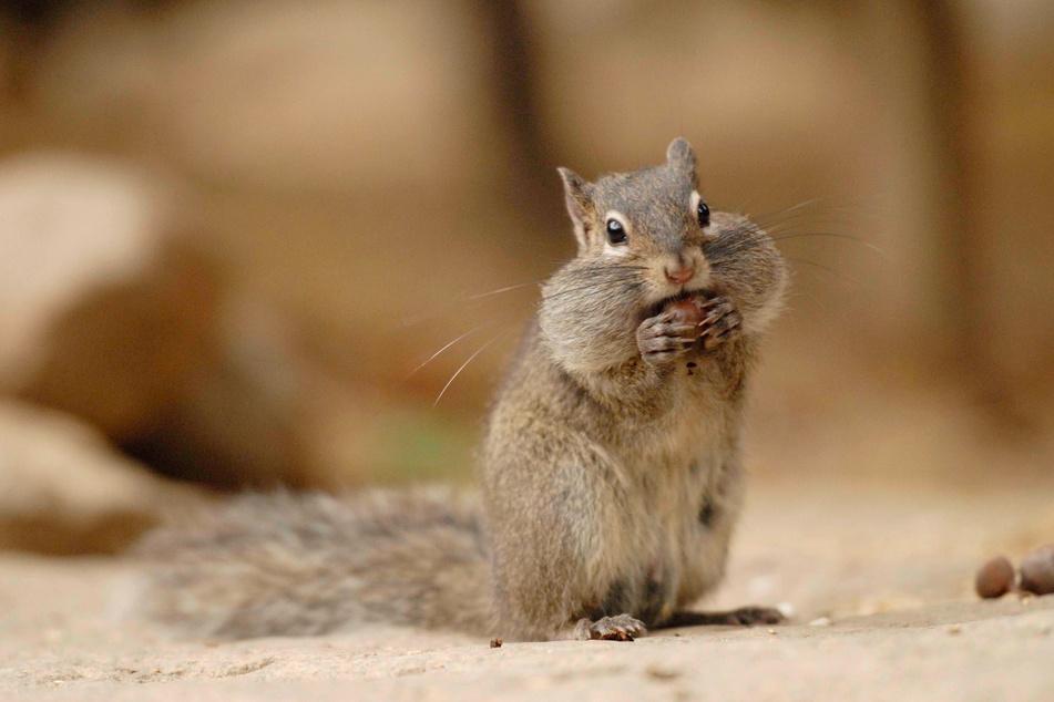 Ein Felsenhörnchen im Naturschutz-Tierpark Görlitz-Zgorzelec.