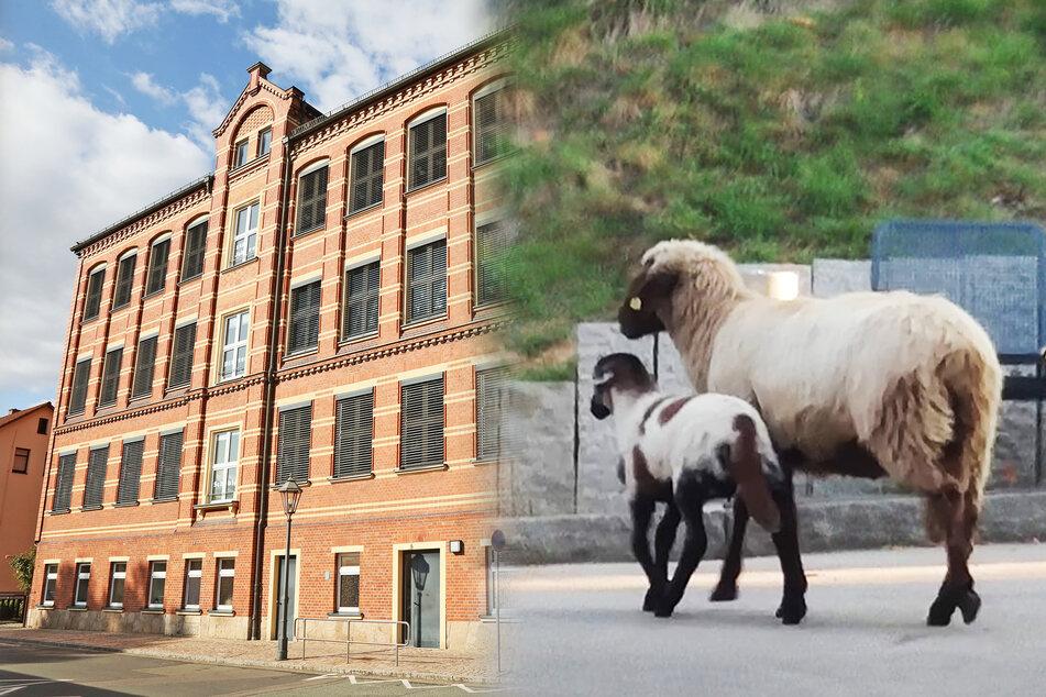 Schafe hauen vor neuem Besitzer ab und gehen zur Schule!