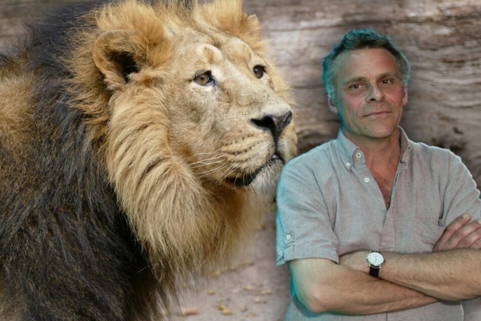 Muss ein steriler Löwe sterben? Zoodirektor versteht nicht, warum sich Leute aufregen