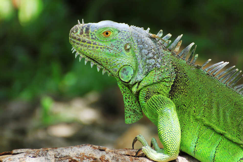 Florida bans iguanas and other invasive species taking over local habitats – and toilets