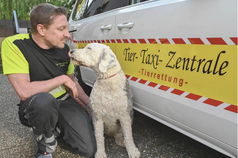 Markus Wagner von der Tier-Taxi-Zentrale mit der vier Jahre alten Bobtail Hündin Paula, die er regelmässig mit seinem Taxi fährt