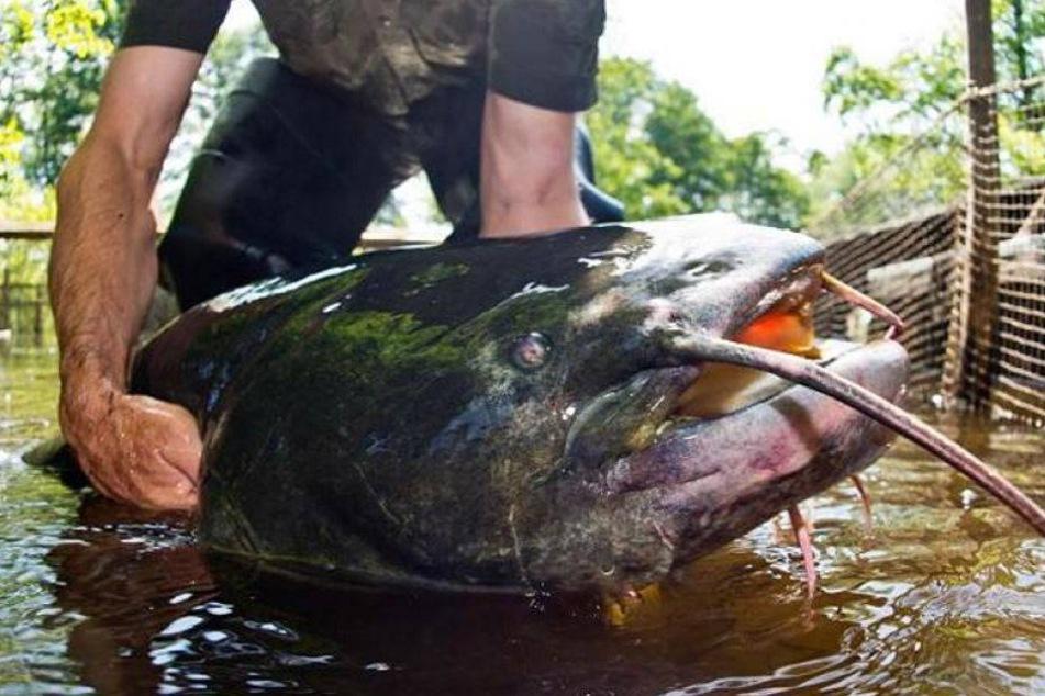 Angler finden menschliche Hand in Riesenwels aus der Elbe