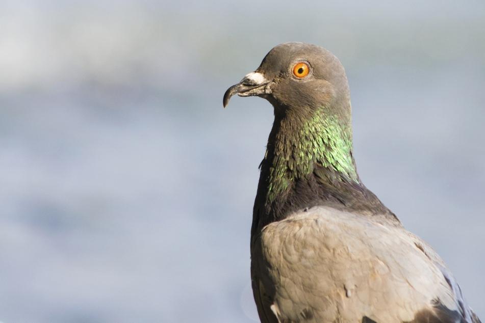 Tauben sind ein Zeichen der Freiheit. In Erfurt hat ein Unbekannter auf einen Vogel geschossen. (Symbolbild)
