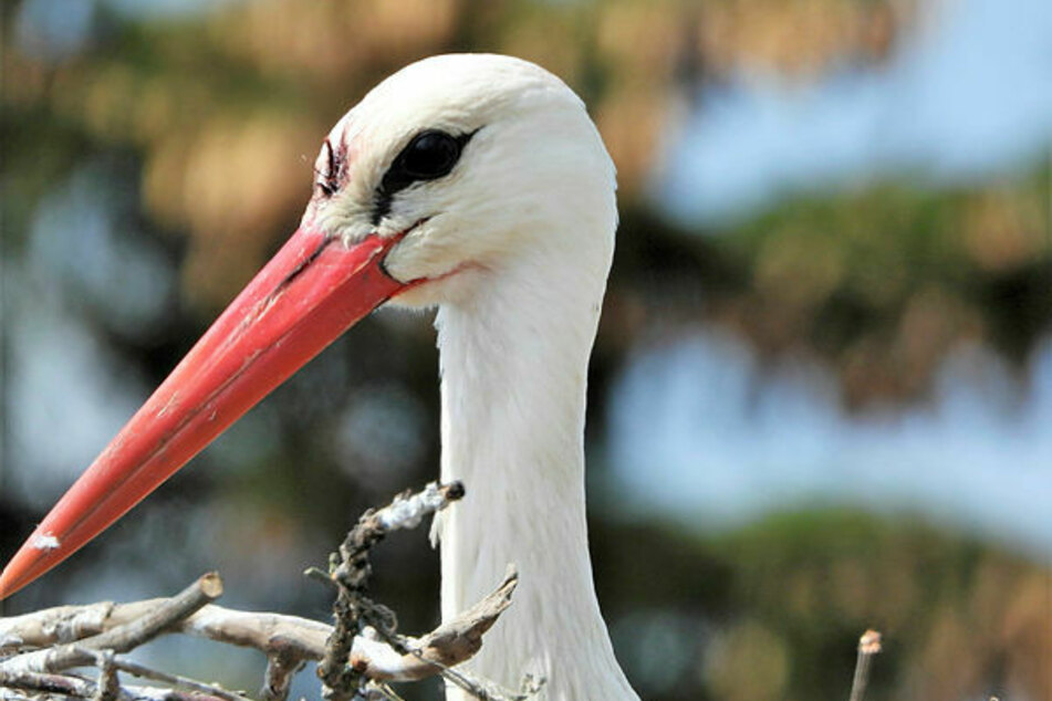 Dieser Storch hat einen spitzen Schnabel direkt zwischen die Augen bekommen.