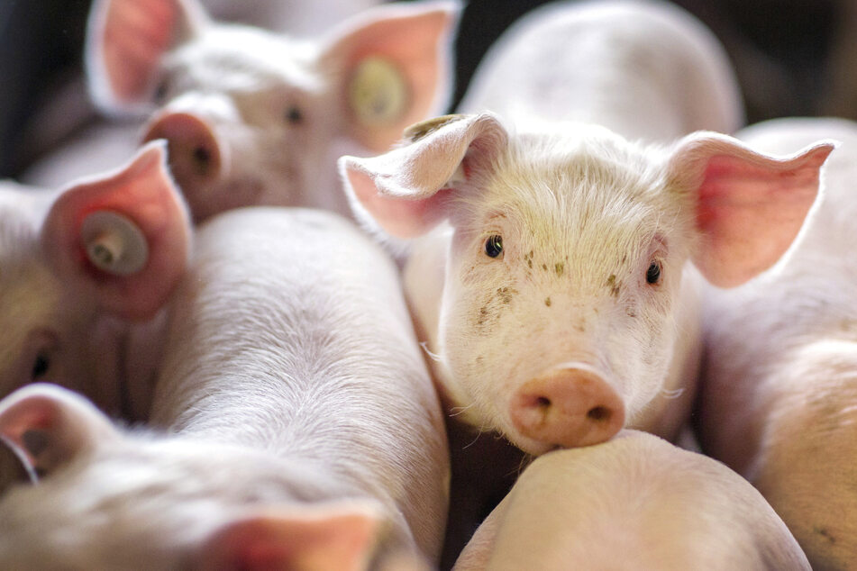 Hunderte Schweine sollen in Niedersachsen qualvoll verreckt sein. (Symbolbild)