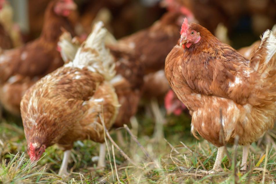Hühner und anderes Geflügel muss in den Stall. (Archivbild)