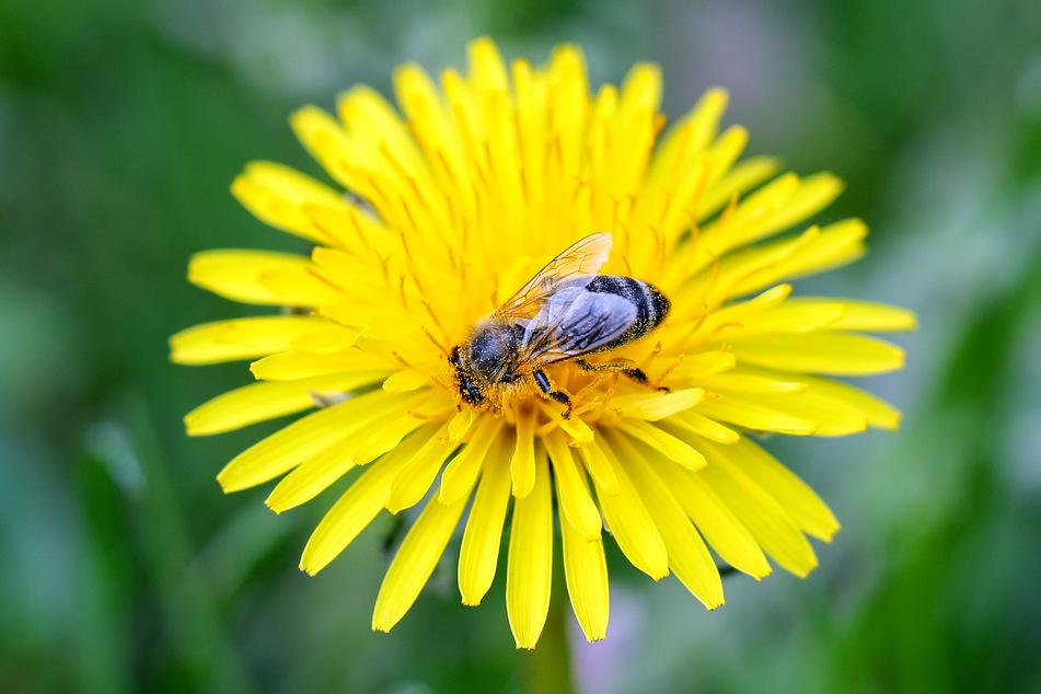 Bienen in Flirtlaune: Kurze Kälte schadet Frühlingsgefühlen nicht