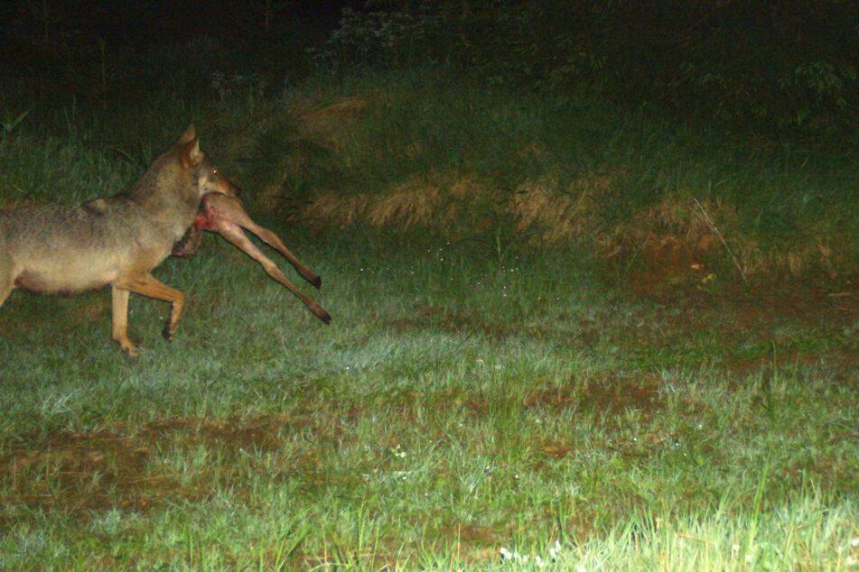 Kurz nach Mitternacht erwischte eine Fotofalle im Wald bei Marienberg eine Wölfin bei der Jagd für ihre Jungen.
