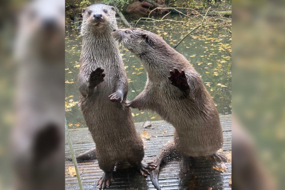 Die Otter ließen sich leicht durchzählen.
