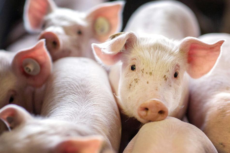 Transporter kippt um: Entlaufene Schweine auf A14 unterwegs